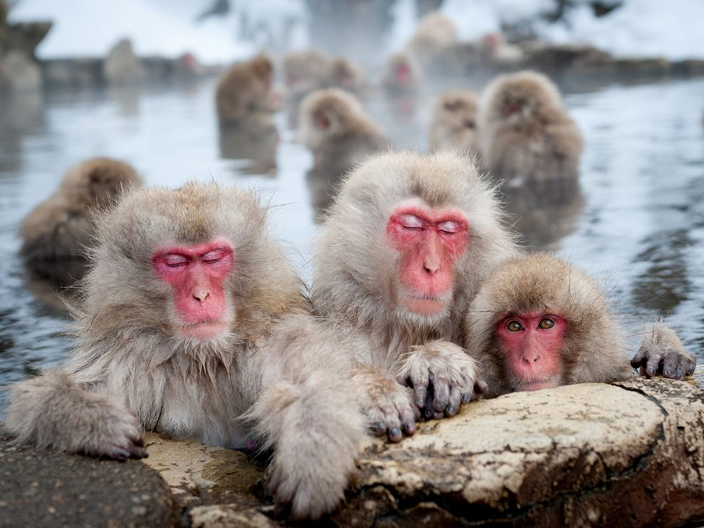 Japanese Macaque HD wallpapers, Desktop wallpaper - most viewed