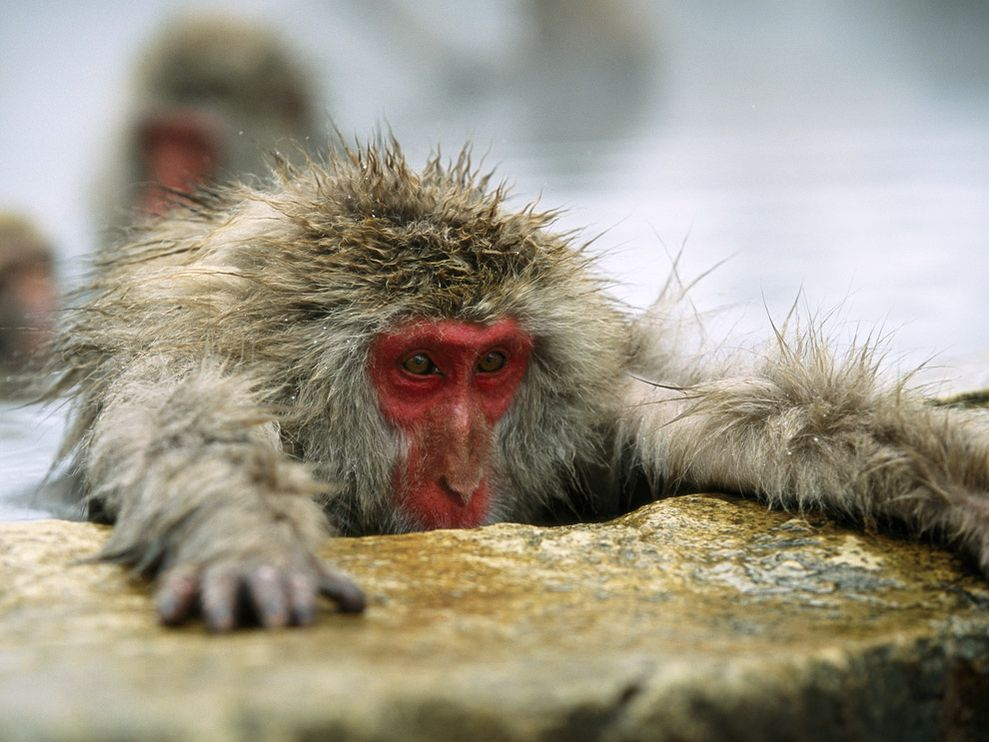 Japanese Macaque #24
