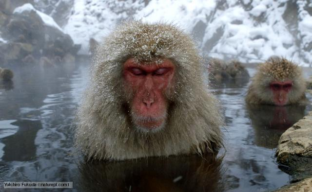 Nice wallpapers Japanese Macaque 640x395px