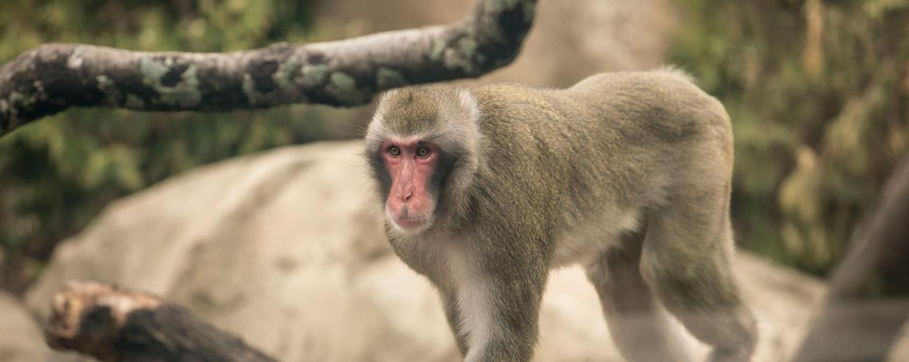 Nice wallpapers Japanese Macaque 1300x518px