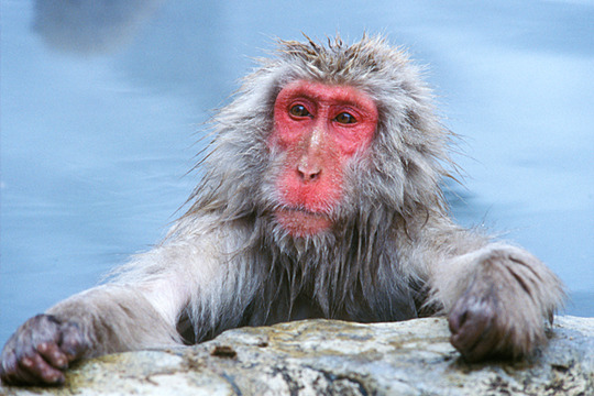 Nice Images Collection: Japanese Macaque Desktop Wallpapers