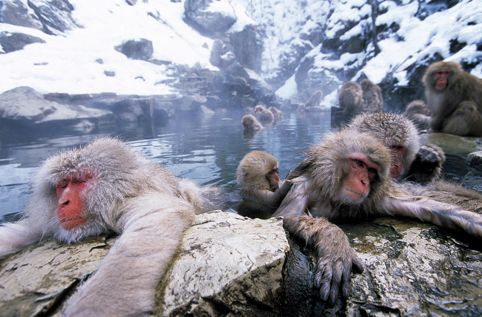 Japanese Macaque #25