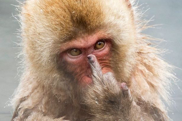 Japanese Macaque #11