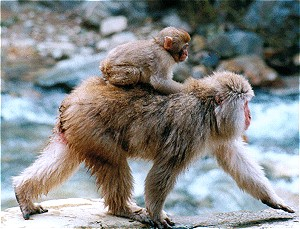 Japanese Macaque #14