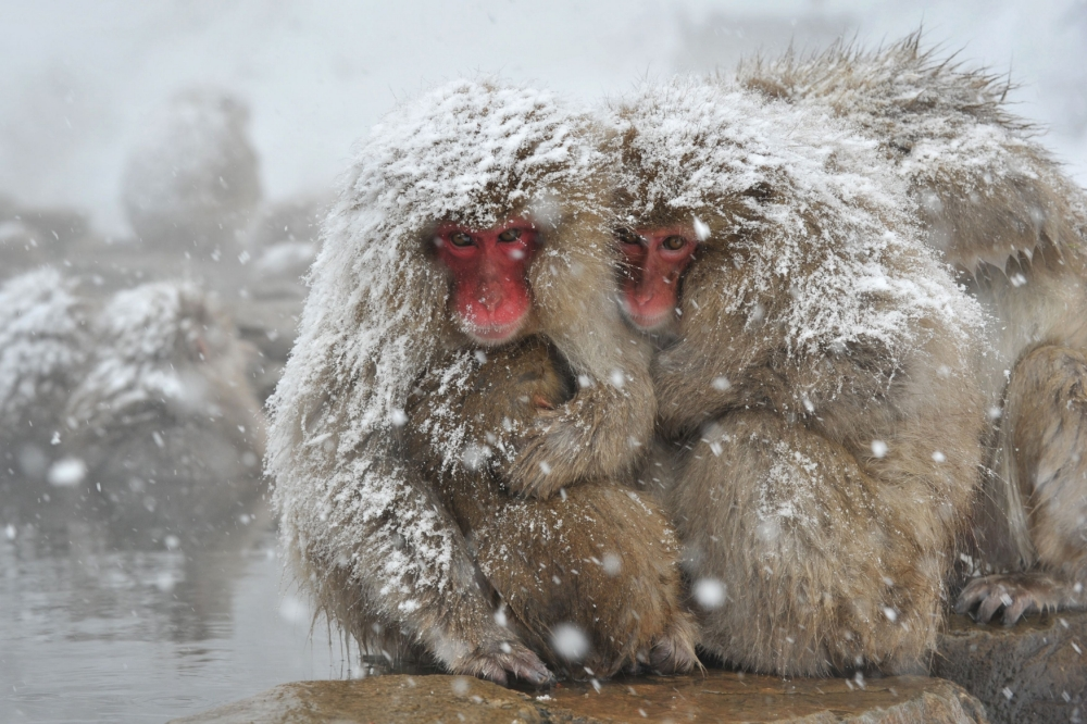 Japanese Macaque #17