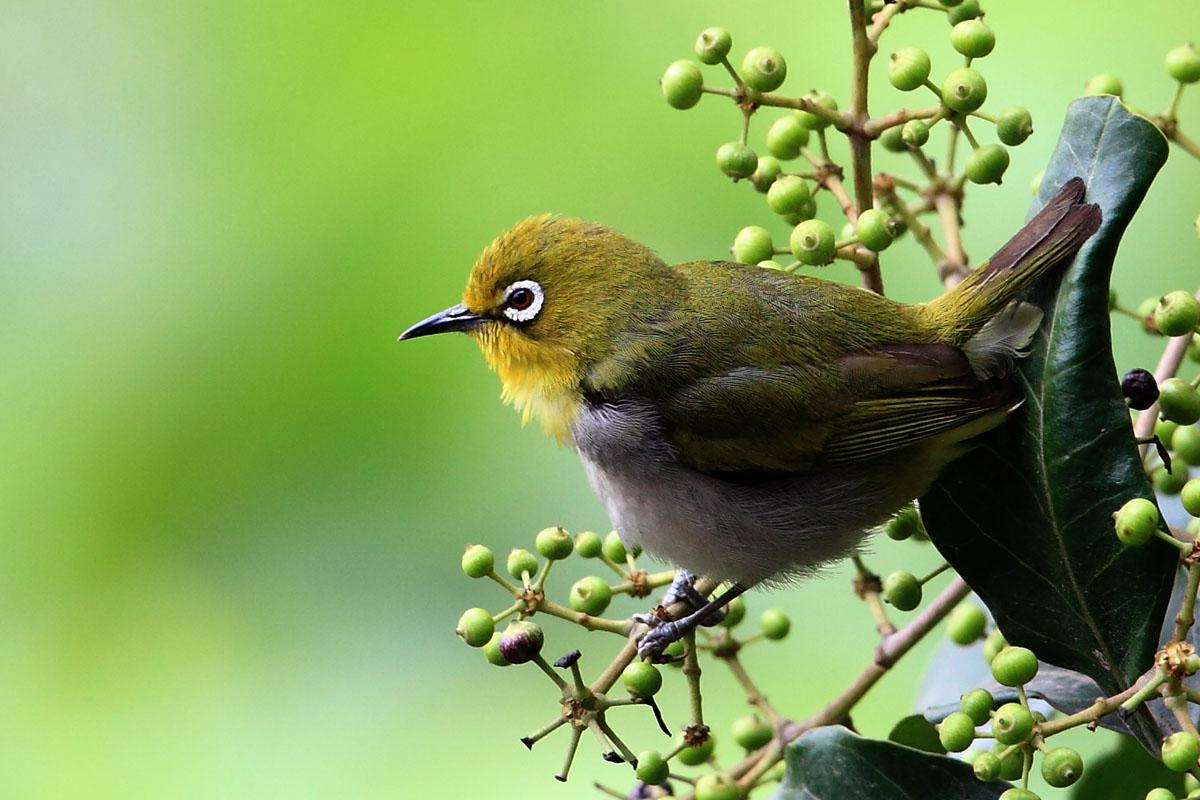 HD Quality Wallpaper | Collection: Animal, 1200x800 Japanese White-eye