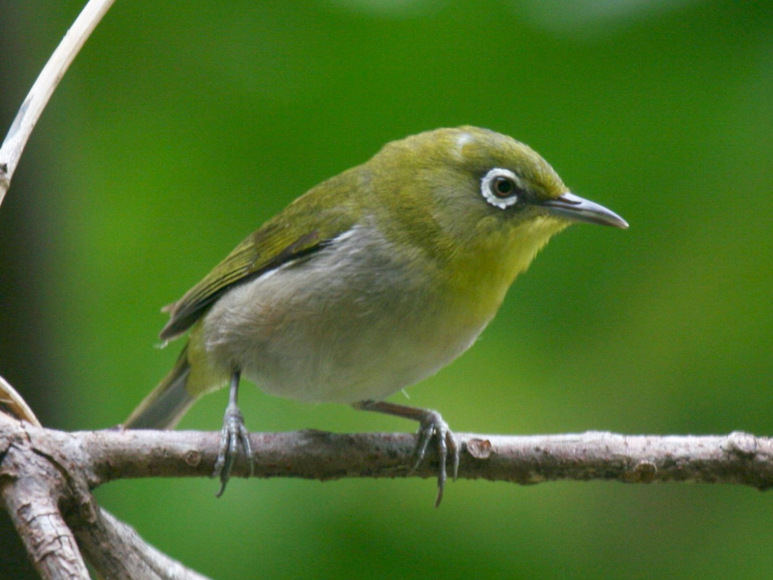 Japanese White-eye Backgrounds, Compatible - PC, Mobile, Gadgets| 1538x1155 px