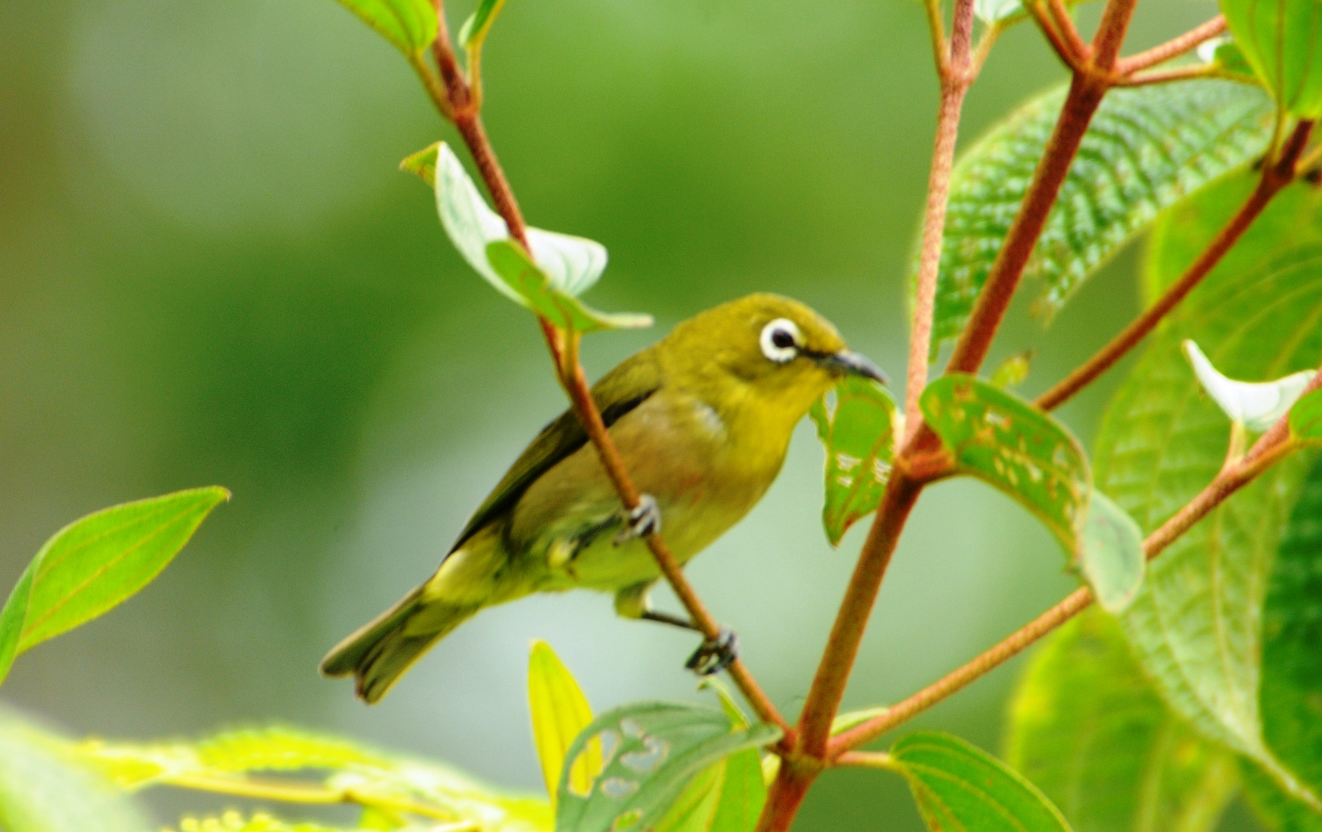Nice Images Collection: Japanese White-eye Desktop Wallpapers