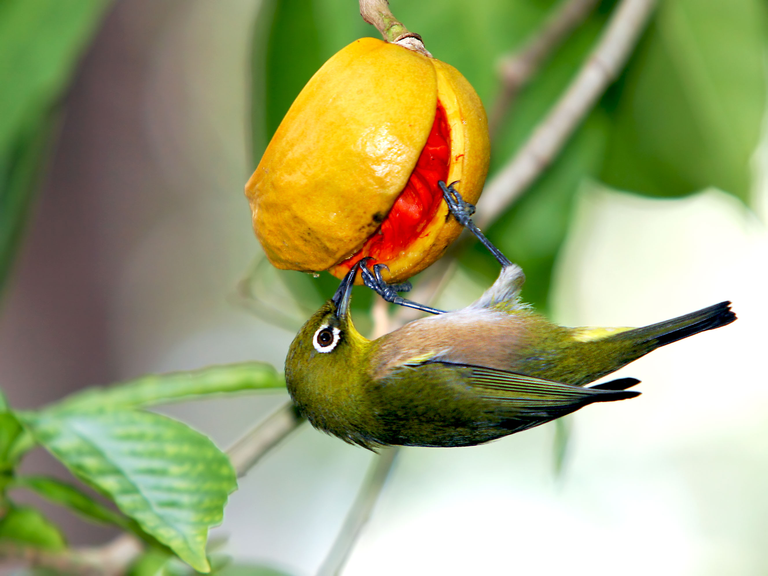 Nice wallpapers Japanese White-eye 2655x1991px