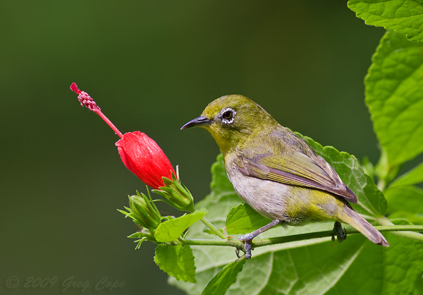 600x418 > Japanese White-eye Wallpapers