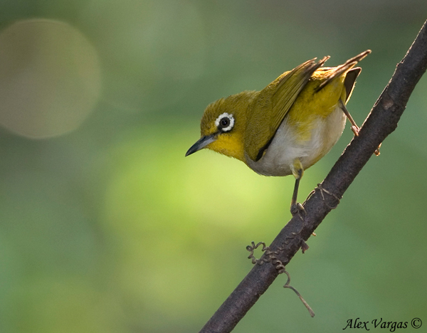 Nice wallpapers Japanese White-eye 600x468px