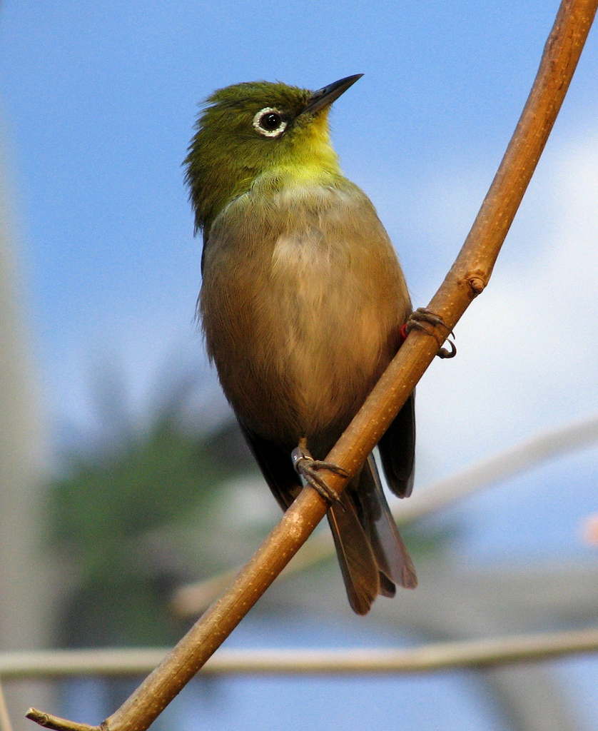 Japanese White-eye Backgrounds, Compatible - PC, Mobile, Gadgets| 838x1024 px