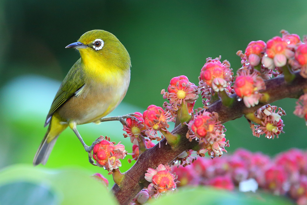 Japanese White-eye Pics, Animal Collection