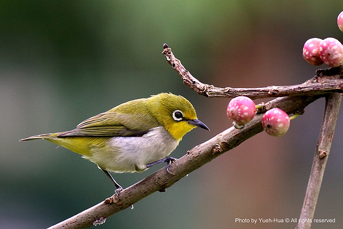 Images of Japanese White-eye | 500x333