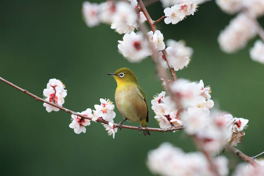 HQ Japanese White-eye Wallpapers | File 39.32Kb