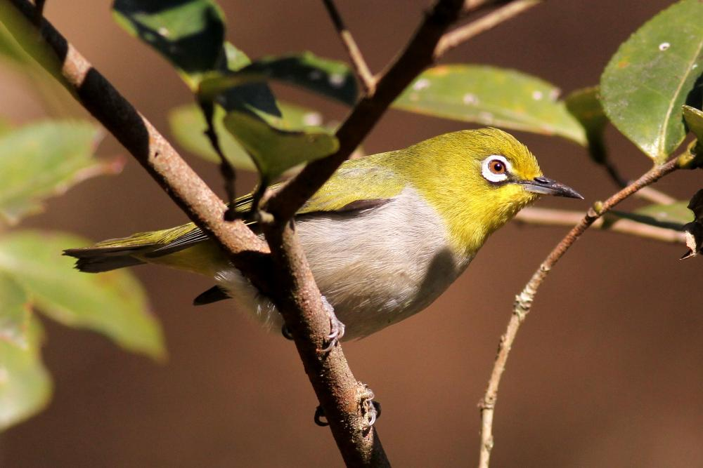 High Resolution Wallpaper | Japanese White-eye 1000x667 px