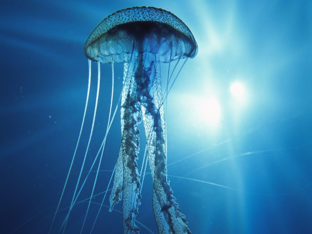 HQ Jellyfish Wallpapers | File 134.68Kb