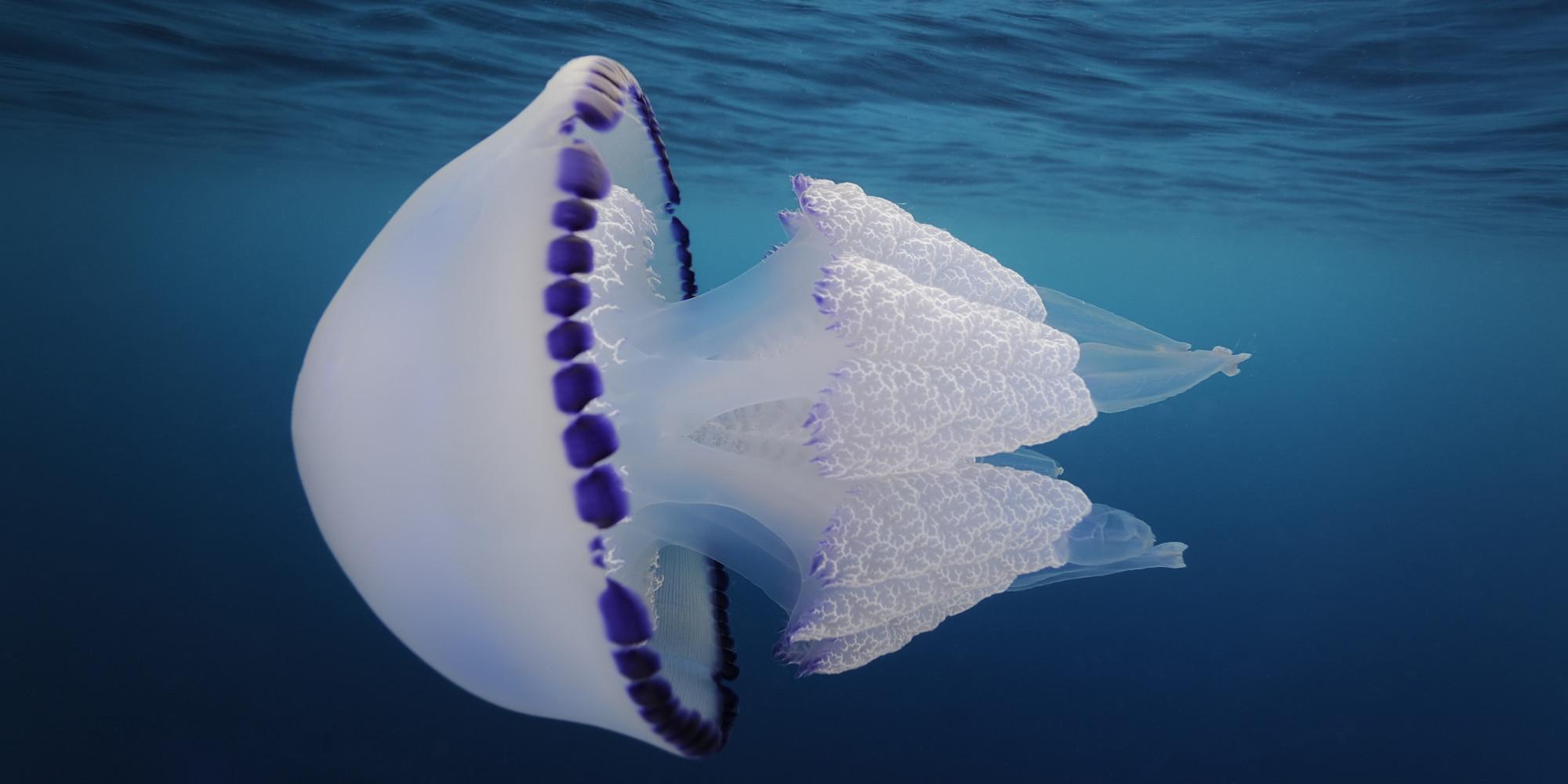 High Resolution Wallpaper | Jellyfish 2000x1000 px