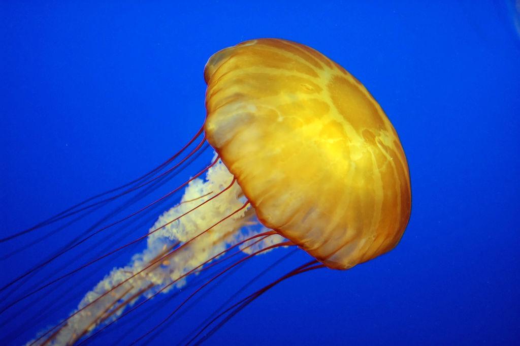 Jellyfish Pics, Animal Collection