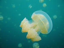 Nice wallpapers Jellyfish 220x165px
