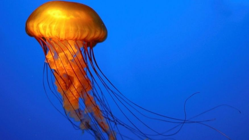 876x493 > Jellyfish Wallpapers