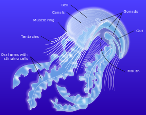 Jellyfish Pics, Artistic Collection