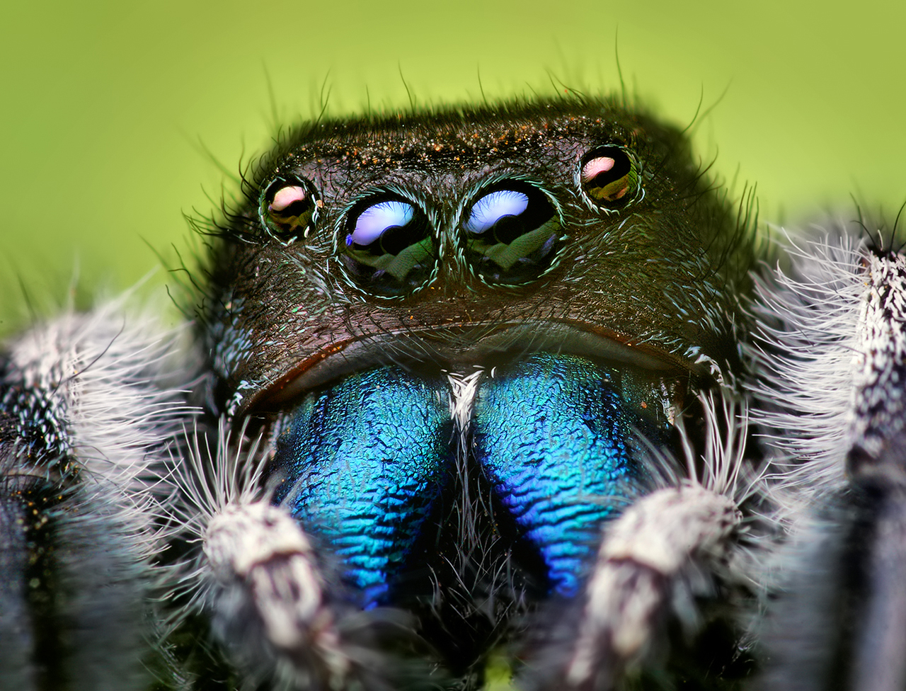 Amazing Jumping Spider Pictures & Backgrounds