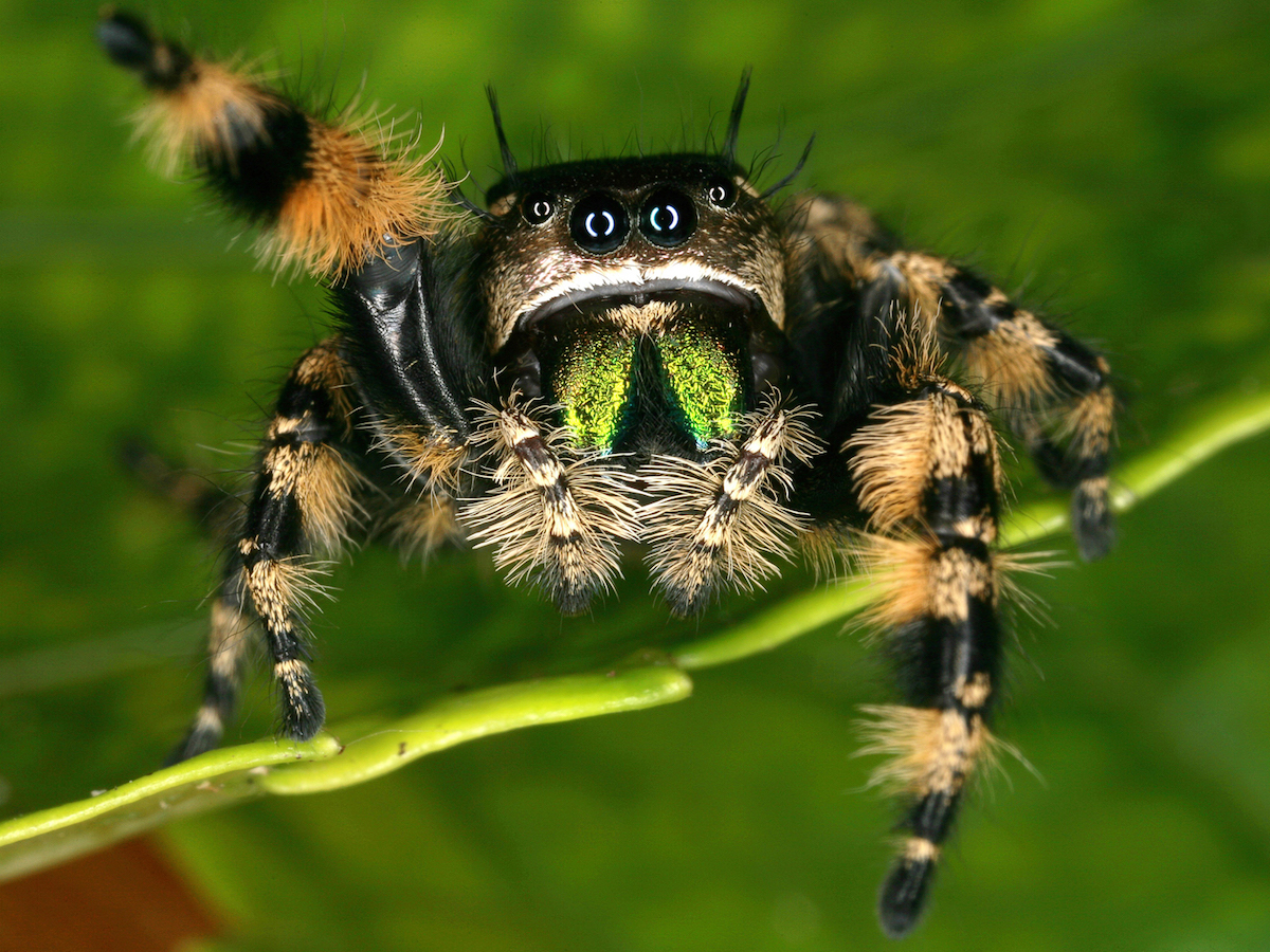 Nice wallpapers Jumping Spider 1200x900px