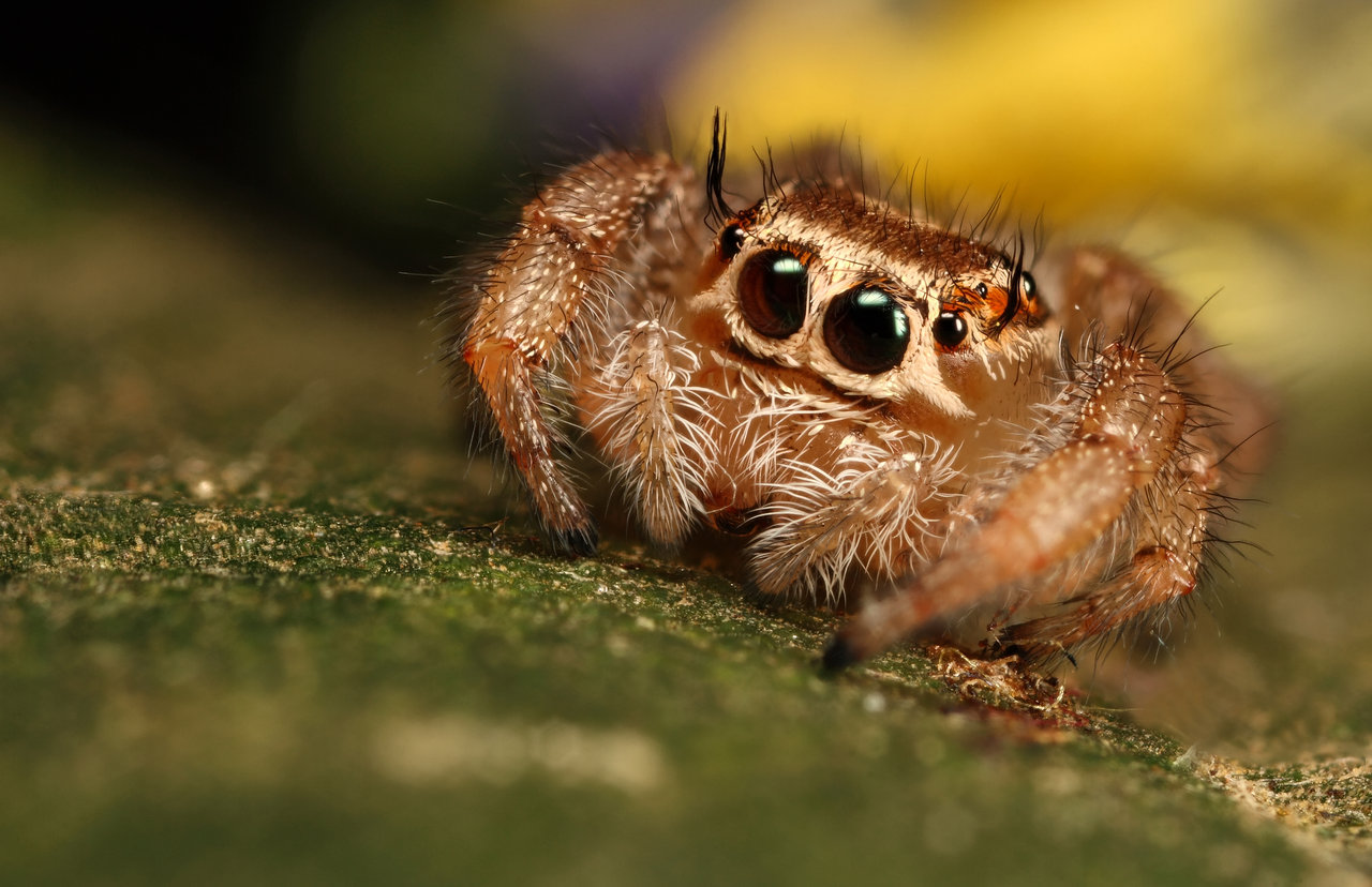 Jumping Spider Backgrounds, Compatible - PC, Mobile, Gadgets| 1280x828 px