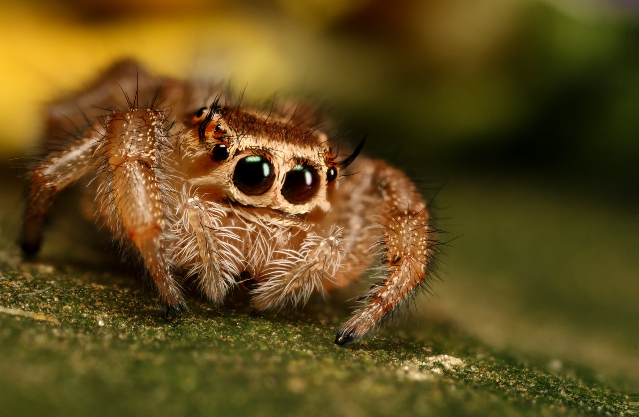 High Resolution Wallpaper | Jumping Spider 1280x835 px
