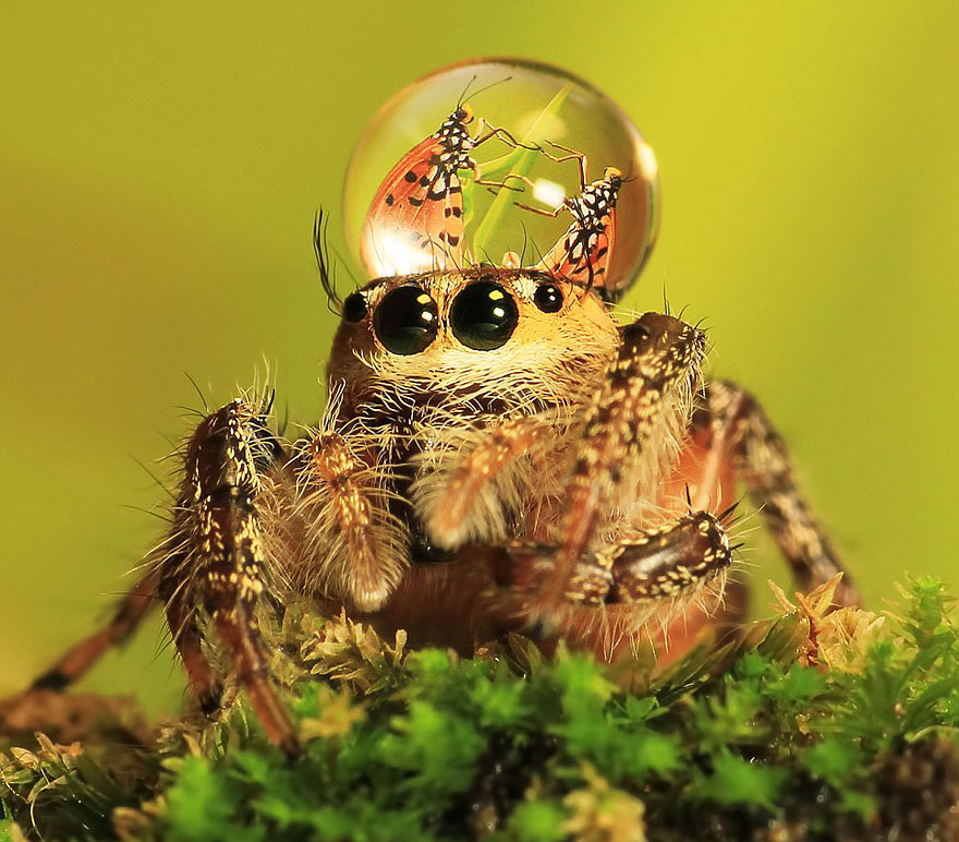Jumping Spider Backgrounds, Compatible - PC, Mobile, Gadgets| 880x772 px