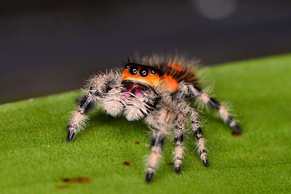 Jumping Spider Backgrounds on Wallpapers Vista