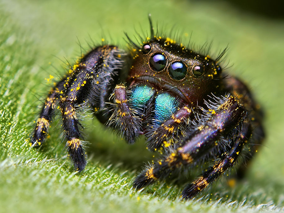HQ Jumping Spider Wallpapers | File 168.25Kb