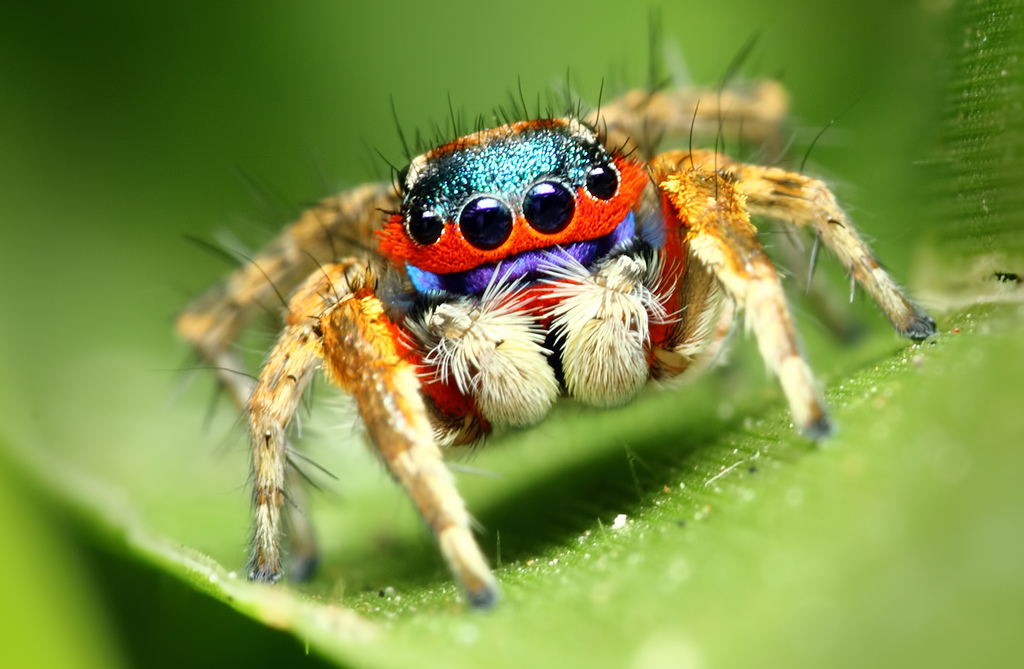 Jumping Spider Backgrounds, Compatible - PC, Mobile, Gadgets| 1024x669 px