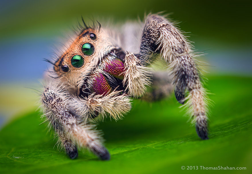 HD Quality Wallpaper | Collection: Animal, 880x608 Jumping Spider