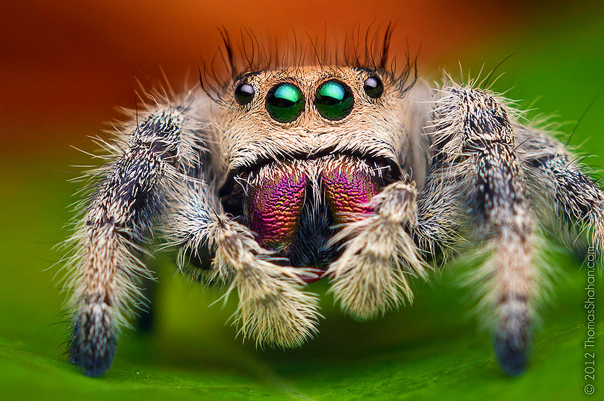 HD Quality Wallpaper | Collection: Animal, 880x584 Jumping Spider