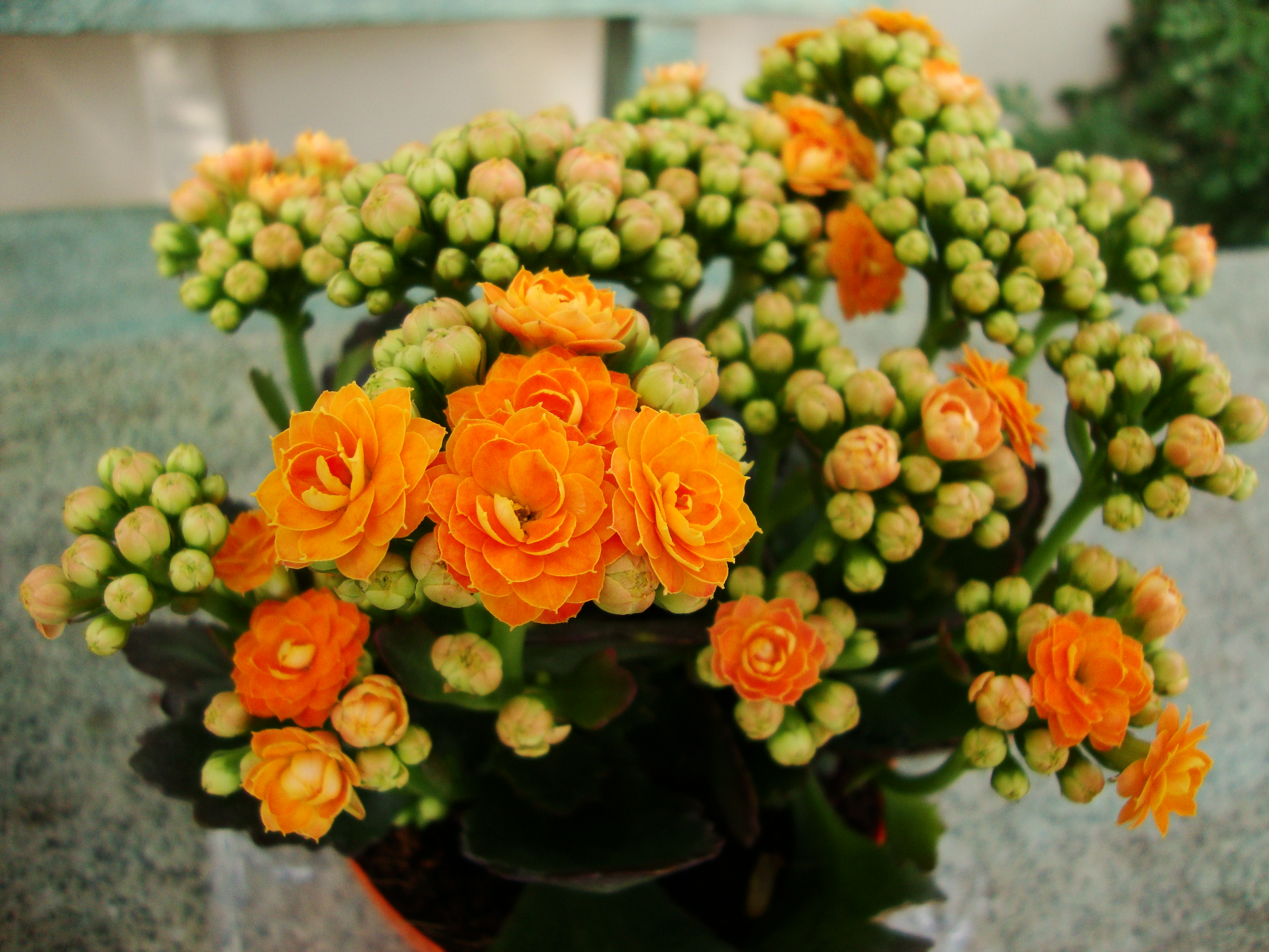 Images of Kalanchoe | 3264x2448