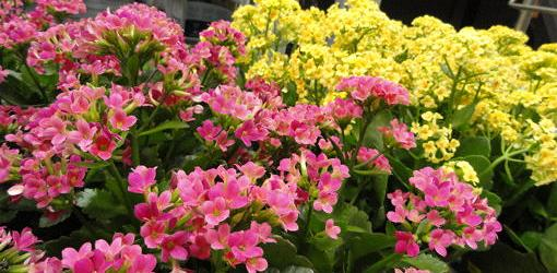 Nice Images Collection: Kalanchoe Desktop Wallpapers