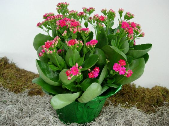 Kalanchoe Backgrounds on Wallpapers Vista