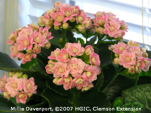 Images of Kalanchoe | 300x225