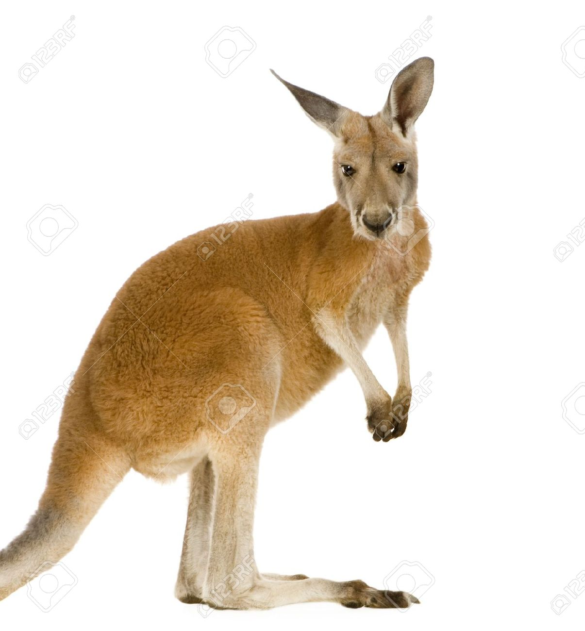 Images of Kangaroo | 1205x1300
