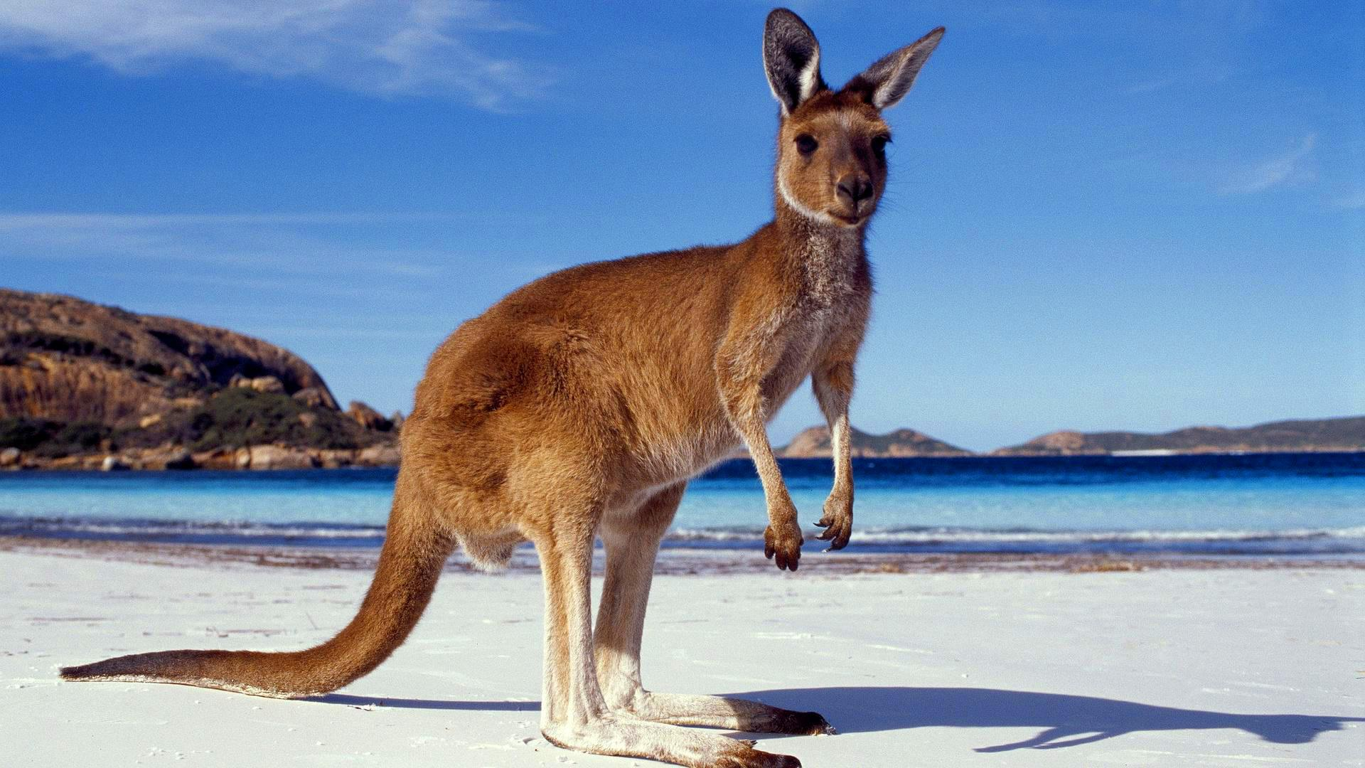 HD Quality Wallpaper | Collection: Animal, 1920x1080 Kangaroo