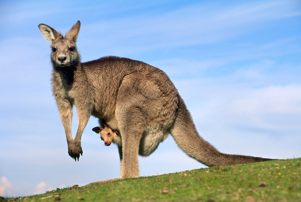 Amazing Kangaroo Pictures & Backgrounds