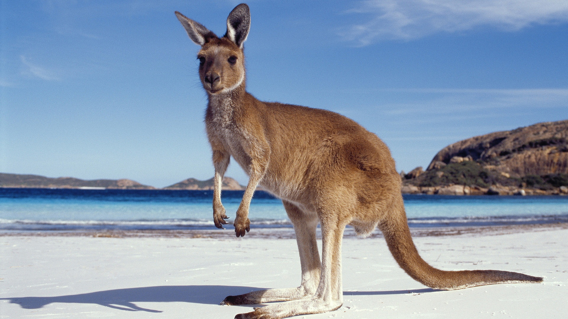 1920x1080 > Kangaroo Wallpapers