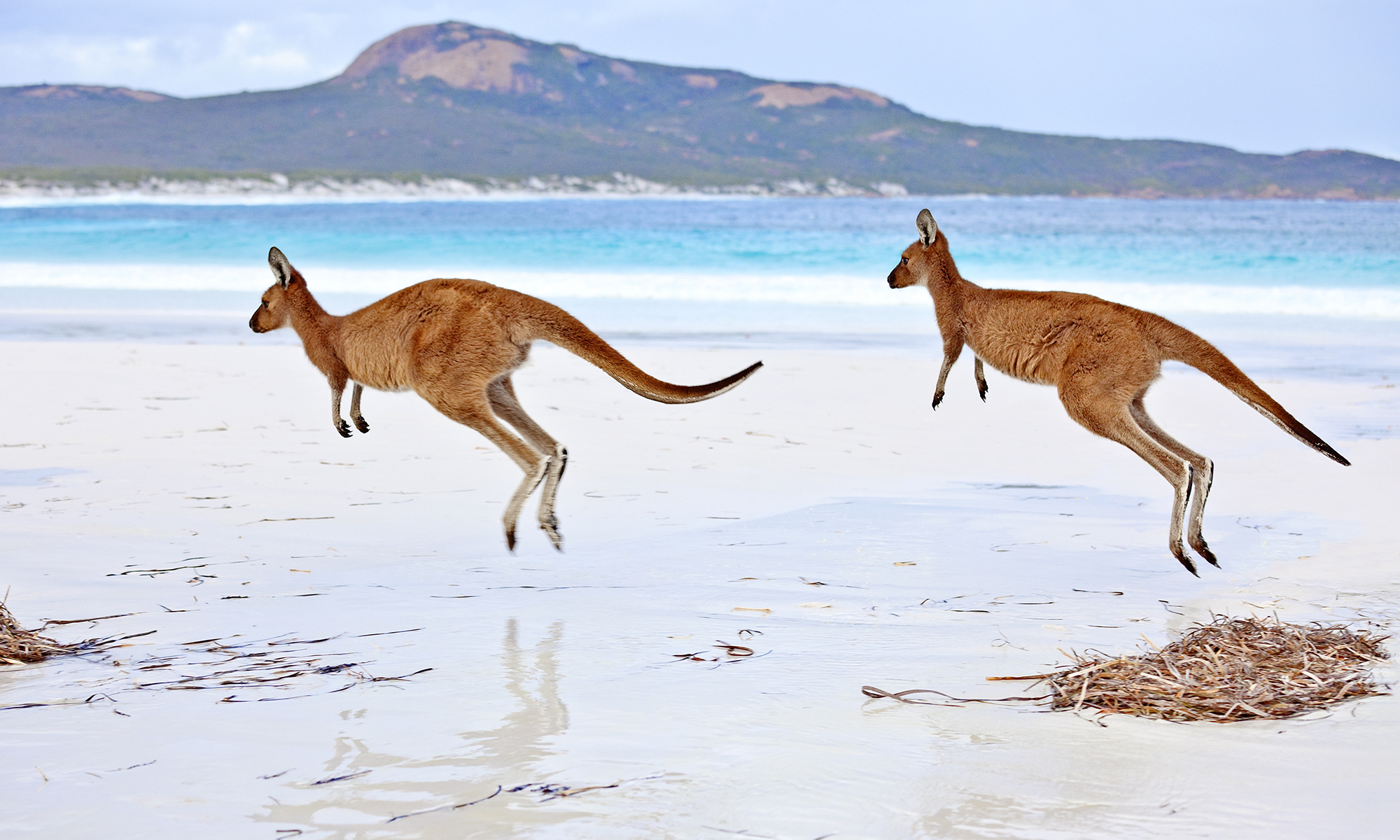 Kangaroo Backgrounds, Compatible - PC, Mobile, Gadgets| 2000x1200 px