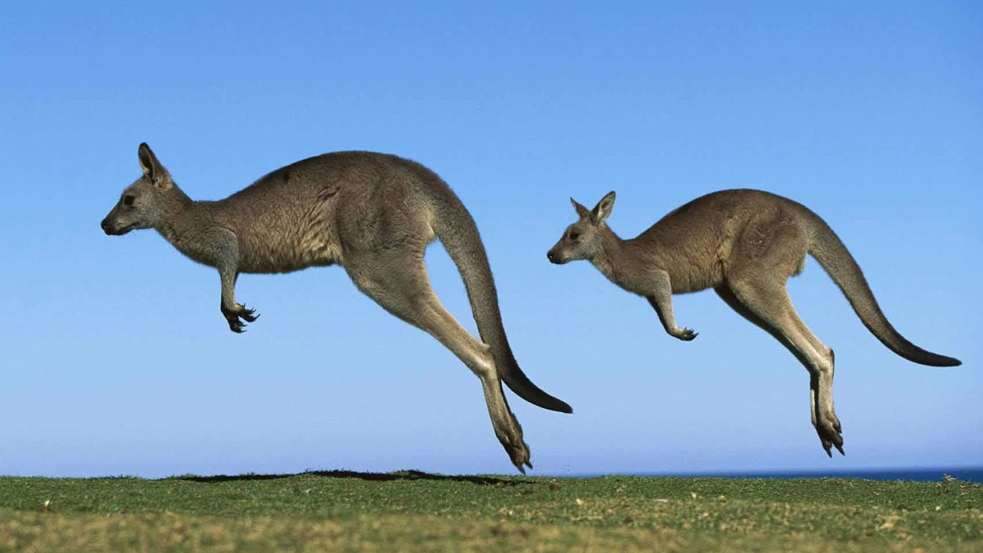 High Resolution Wallpaper | Kangaroo 1920x1080 px