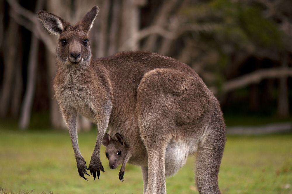 HQ Kangaroo Wallpapers | File 101.51Kb
