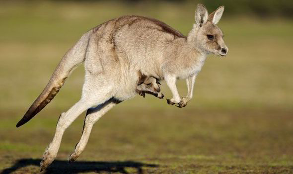 590x350 > Kangaroo Wallpapers