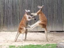Kangaroo Backgrounds, Compatible - PC, Mobile, Gadgets| 220x164 px