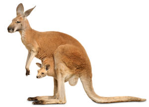 Kangaroo Pics, Animal Collection